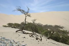 Trees in the desert. Sand dunes of Peru Royalty Free Stock Images