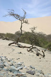 Trees in the desert. Sand dunes of Peru Royalty Free Stock Image