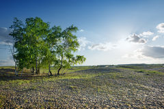 Trees in the desert Stock Image