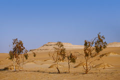 Trees in Desert Sahara oasis , Egypt Stock Photos