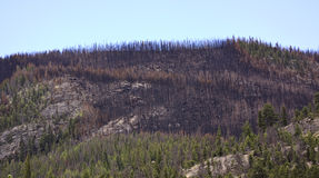 Trees destroyed by wildfire Stock Images