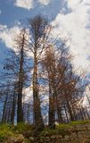 Trees devastated by fire. Low angle view of tall trees damaged by fire in countryside with blue sky and cloudscape background stock photo