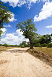 Trees on a Dirt Road. Trees grow randomly along a dirt road in Los Padres National Forest Royalty Free Stock Photography