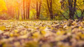 Beautiful autumn background. The leaves are yellow old on earth in autumn day. Trees in the park. Trees in the distance. Beautiful autumn background. The leaves Royalty Free Stock Photo