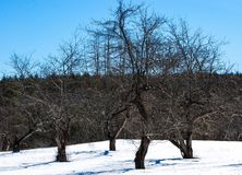 Trees doing the twist in a snowy field under a deep blue late winters day. Four trees dancing surrounded by a crowd of other trees on a warm march day in new Stock Photo