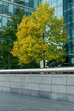 Trees in downtown,surrounded by glass office buildings. Trees with green-yellow leaves,surrounded by a glass office building and concrete fence Stock Image