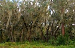 Trees draped with spanish moss stock image