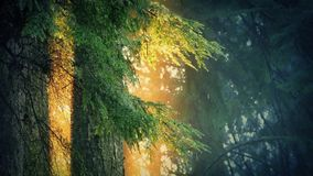 Trees Dripping In Golden Sunlight. Forest trees drip rainwater in glowing sunlight stock footage