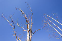 Trees Dry Blue Sky Stock Photography