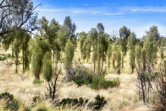 Trees and dry grass in Australian outback Stock Photography