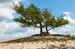 Trees on a dry and sandy hill Stock Photography