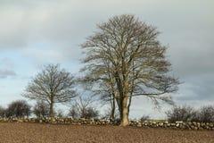 Trees at a Drystone Wall Royalty Free Stock Image