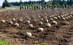 Trees dug and prepared to ship Stock Photo