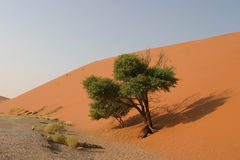Trees at dune. Green tree in the namibian desert growing at the bottom of a red dune royalty free stock image
