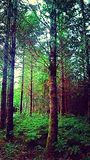 Trees. Dusk in the woods Royalty Free Stock Photo