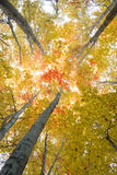 Trees in early autumn. Trees in a forest in autumn with colored leaves Royalty Free Stock Images