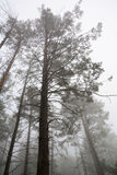 Trees in early morning fog Royalty Free Stock Images