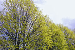 Trees In Early Spring. Closeup of a row of trees beginning to bloom in early spring Royalty Free Stock Photo