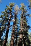 Trees at a earthquake fault. Trees at an earthquake fault in Mammoth, CA Stock Photos