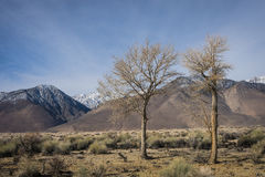 Trees and Eastern Sierra Nevadas Royalty Free Stock Photos