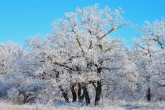 Trees on the edge of an oak grove in a hard frost, with branches covered with hoarfrost royalty free stock photography