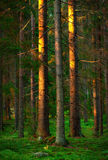 Trees in evening light Stock Photos