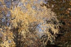 trees för äng för höstbjörkleaves orange Royaltyfria Bilder