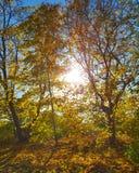 trees för äng för höstbjörkleaves orange Royaltyfri Bild