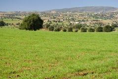 trees för arganfältgreen Arkivbilder