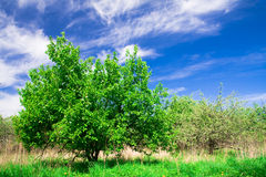 trees för blå sky för äppleblomning under Royaltyfri Fotografi