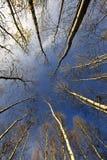 trees för blå sky för björk Arkivbild