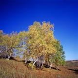 trees för blå sky för höst under Arkivfoto