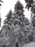 26 trees för format för sammansatt digital enorm mpix panorama- sköt snöig royaltyfria bilder