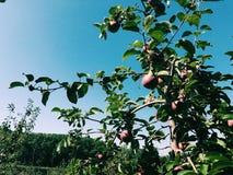 trees för leaves en för äpple oisolerade fulla arkivbild