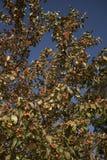 trees för leaves en för äpple oisolerade fulla Royaltyfria Foton