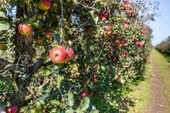 trees för leaves en för äpple oisolerade fulla Royaltyfri Fotografi