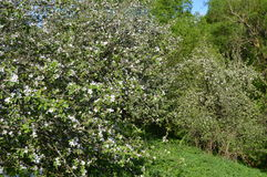 trees för leaves en för äpple oisolerade fulla Arkivfoton