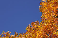 Trees at fall. Top of trees over blue sky at fall Royalty Free Stock Image
