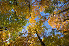 Trees in Fall. A look up at the beautiful Northeastern foliage Stock Images