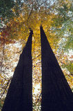 Trees in Fall Color. Pair of tall trees in fall color with sky background Royalty Free Stock Image