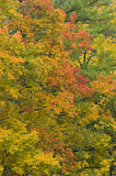 Trees in Fall Color. Tight shot of trees (Sweetgum, etc) in red and yellow fall color Stock Photo