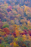 Trees in Fall Color. Full-frame shot of trees in fall color Royalty Free Stock Photography