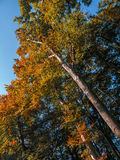 Trees in fall colors royalty free stock photography