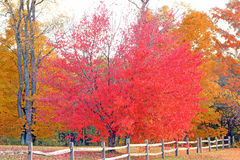 Trees in Fall colors with wooden fence, Plymouth, VT Royalty Free Stock Image
