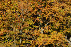 Trees in fall. Goldet trees in the autumn Stock Photography