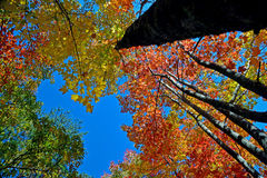 Trees and fall leaves in the Smokies Stock Photo
