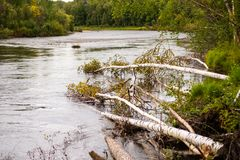 Trees fallen into the Chena River Royalty Free Stock Image