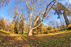 Trees with fallen leaves Royalty Free Stock Photos