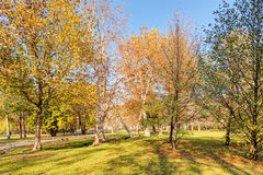 Trees with fallen leaves Royalty Free Stock Photography