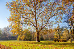 Trees with fallen leaves Stock Images
